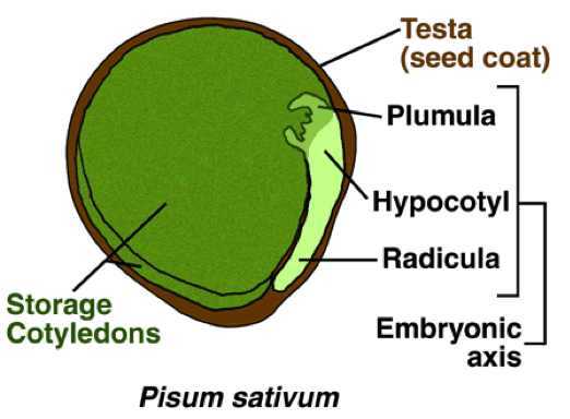 cross-sectional diagram of a pea